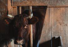 Menjaga kebersihan kandang sapi