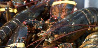 daerah penghasil lobster