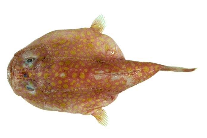 ikan coffinfish