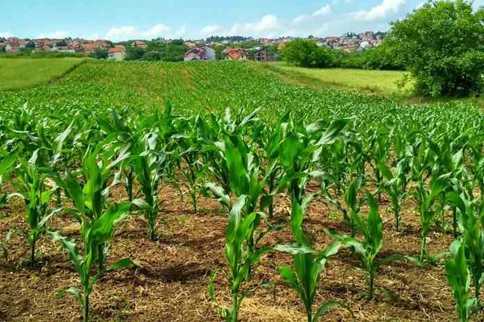 jagung manis tidak tumbuh