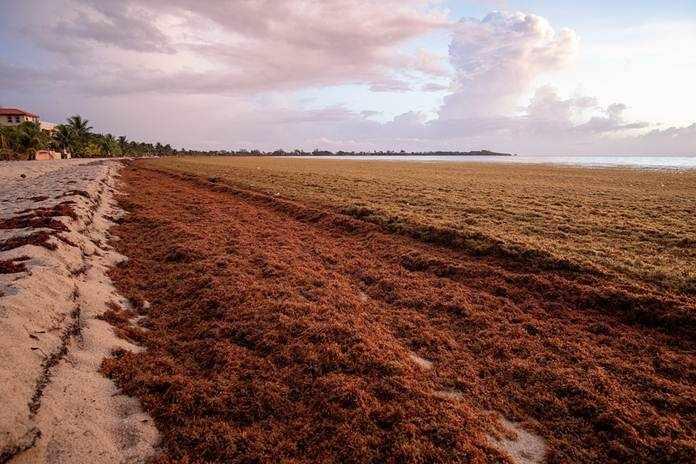 Rumput laut aman dikonsumsi