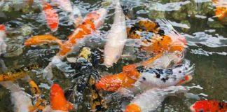 karakteristik penilaian kontes ikan koi hias