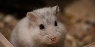 Sifat hamster