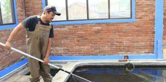 bisnis ikan koi