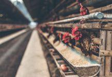 bisnis ternak ayam petelur rumahan