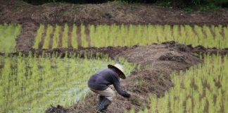 pertanian di Sulawesi