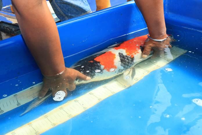 Pengobatan 12 Penyakit Ikan Koi Artikel Pertanian Terbaru Berita Pertanian Terbaru