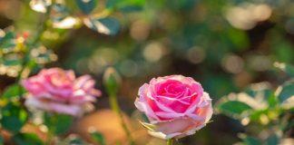 cara pembibitan mawar
