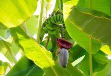 Mengolah jantung pisang