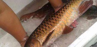 Budidaya ikan dewa
