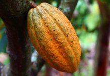 manfaat kulit kakao