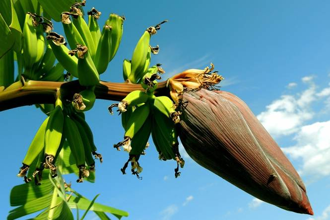 Mengolah jantung pisang memang susah-susah gampang. Jantung pisang sendiri sudah lama dikenal sebagai bahan makanan yang cukup lezat. Rasanya yang unik dipadu dengan tekstur khas membuat jantung pisang digemari masyarakat.