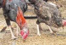 pemberian pakan ternak ayam kampung