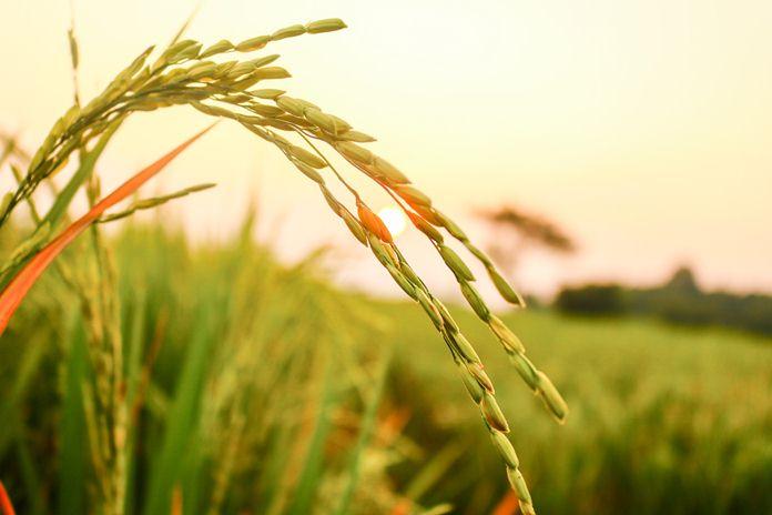 1.000 hektare lahan sawah di Cianjur terancam gagal panen