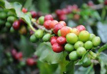 komoditas pertanian yang sangat diminati di pasar ekspor