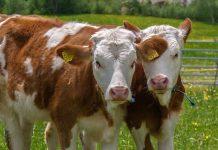 Jenis sapi penggemukan