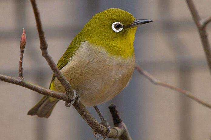 membuat doping alami untuk burung pleci