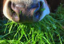 fermentasi rumput lapang untuk ternak