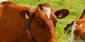Ciri bakalan sehat untuk penggemukan sapi