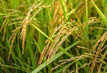 varietas padi yang toleran kekeringan