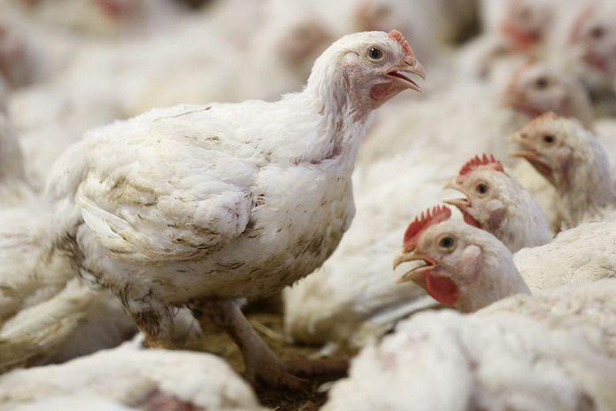 Harga ayam tingkat peternak di Jawa