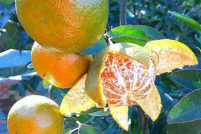 cara membedakan jeruk keprok dan siam