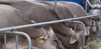 antraks pada hewan kurban