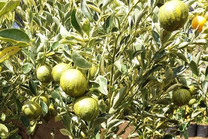 jeruk kalamansi