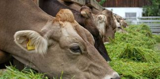 kebutuhan pakan sapi pedaging