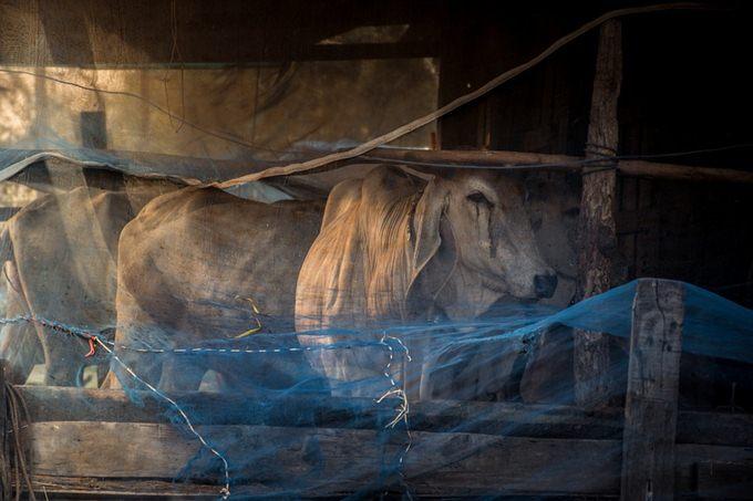 kelengkapan kandang untuk beternak sapi