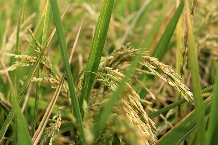 Produksi beras nasional