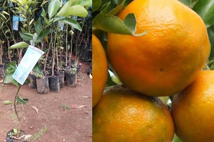 jeruk unggulan Bali