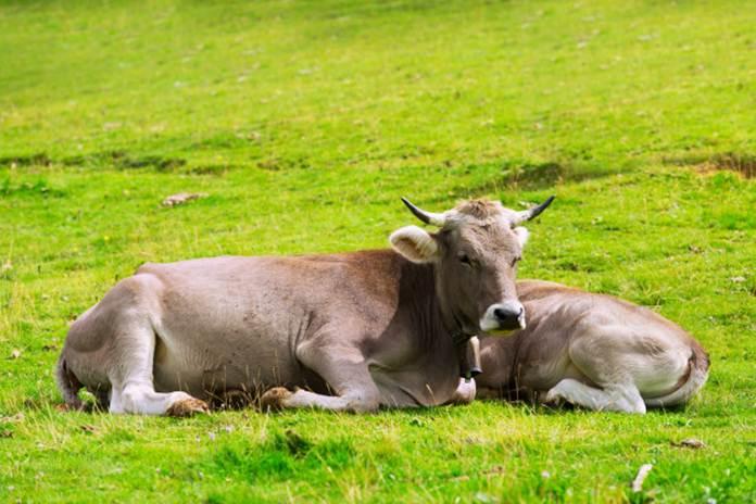 keunggulan penggemukan sapi