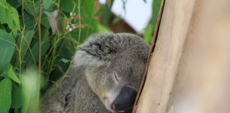 koala merupakan hewan liar