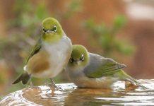 manfaat memandikan burung pleci di malam hari