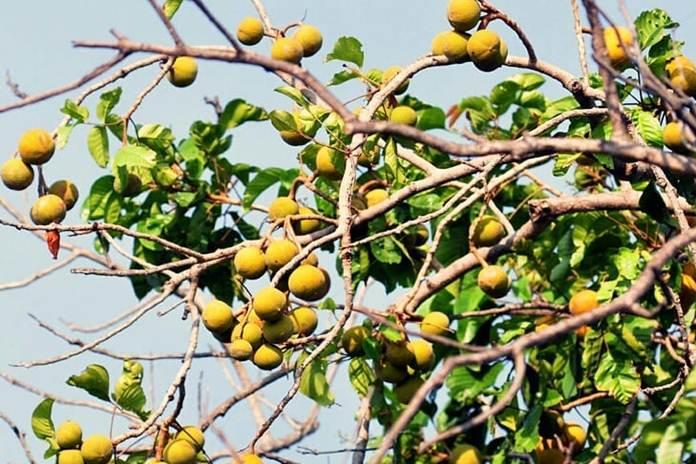 Pohon kecapi