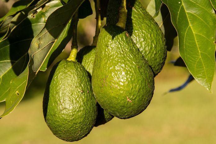 peluang ekspor avokad ke Jepang