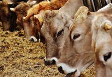 peluang usaha membuat pakan ternak