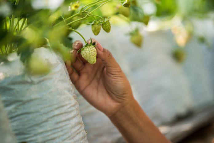 Pemeliharaan tanaman stroberi
