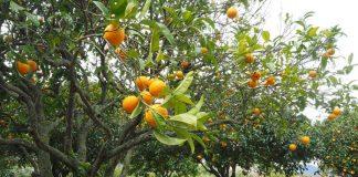 teknologi pertanian jeruk