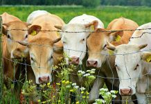 membangun kandang sapi