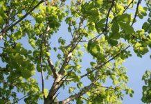 Pohon berangan