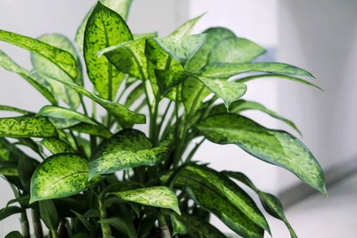Diffenbachia si tanaman beracun