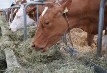 solusi tepat pakan hijauan ternak di musim kemarau