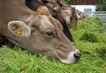 pakan hijauan ternak