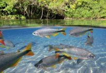 spesies ikan lokal Indonesia