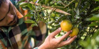 Budidaya jeruk