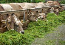 meningkatkan bobot sapi dengan cepat