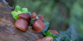 jamur kayu yang aman dikonsumsi