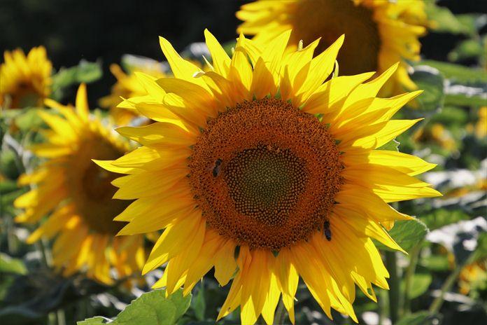 jenis bunga yang bisa dikonsumsi